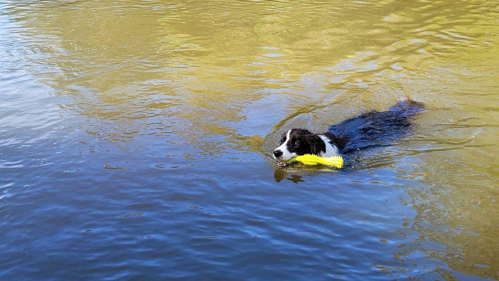 Dog Model For Hire Queensland - Frankie the Border Collie