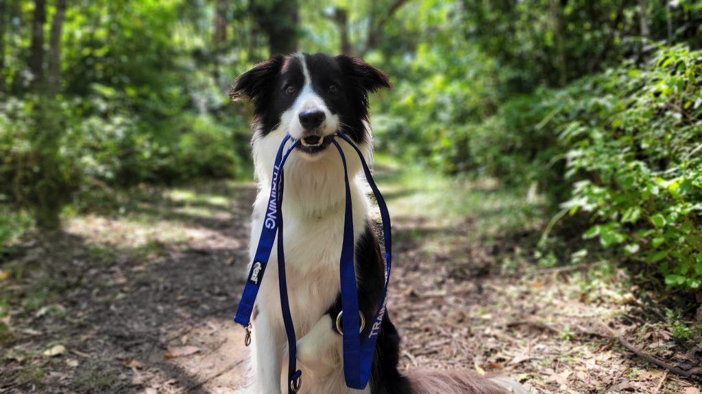 Dog Model For Hire Sunshine Coast - Frankie the Border Collie