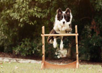 Dog Agility Sunshine Coast - Fun Lessons