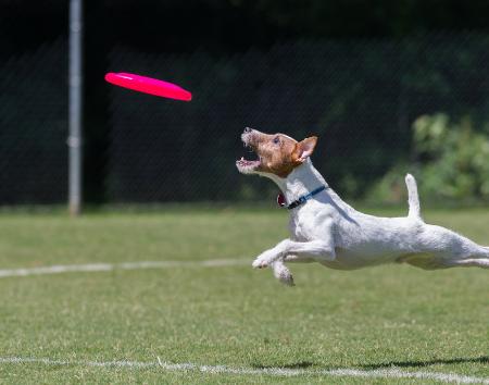 Disc Dog - Dog Frisbee Training Sunshine Coast