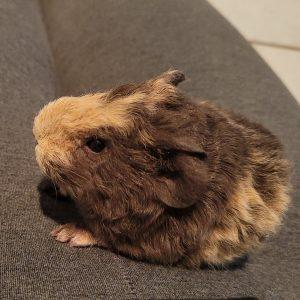 Guinea Pig Model and Actor Australia