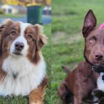 Sasha and Marlo - Dog Agility Training Sunshine Coast